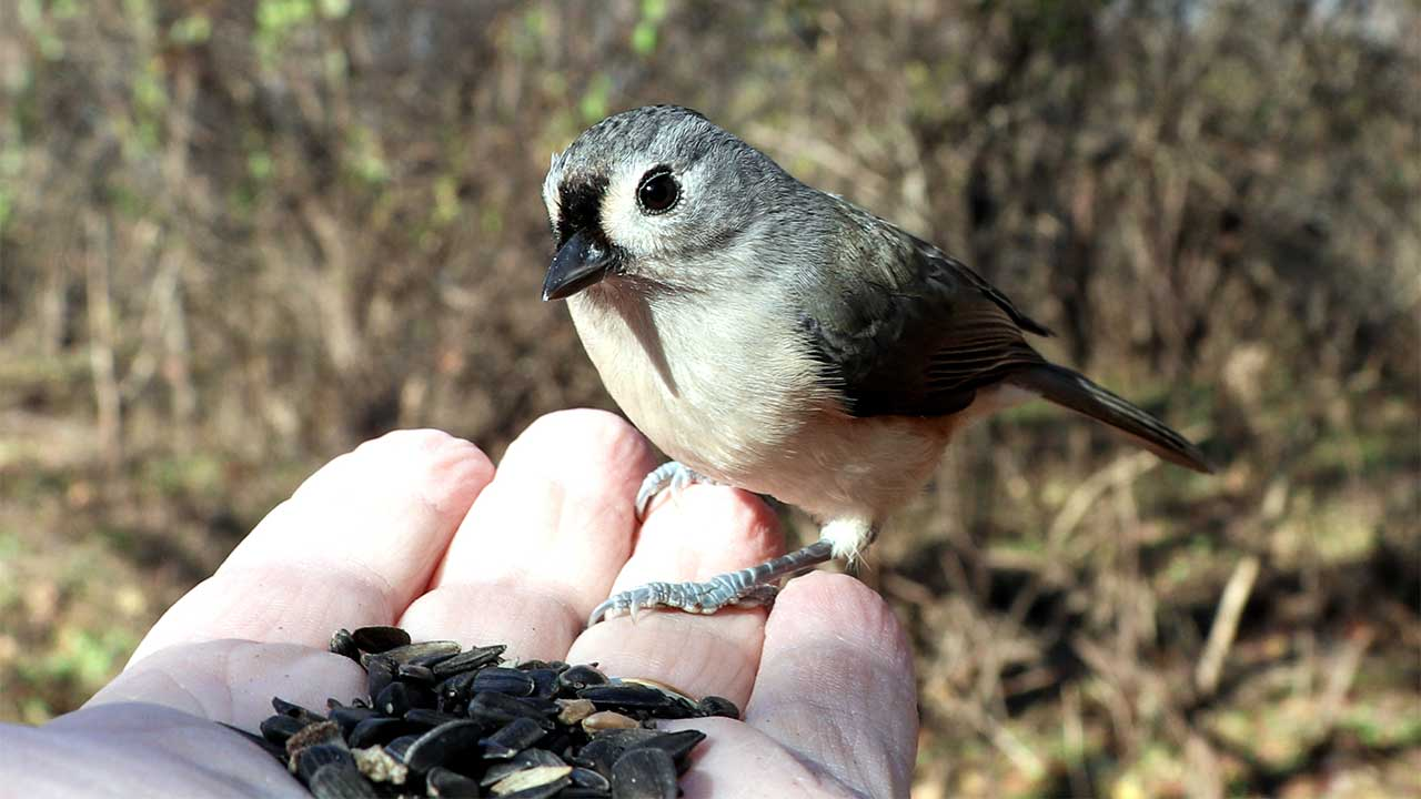 He had this Tufted Titmouse eating out of his hand